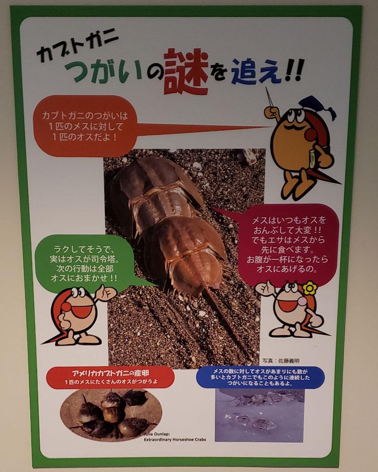 カブトガニ博物館 つがい説明