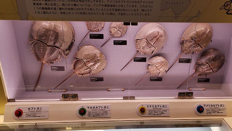 兜煮博物館 カブトガニ展示