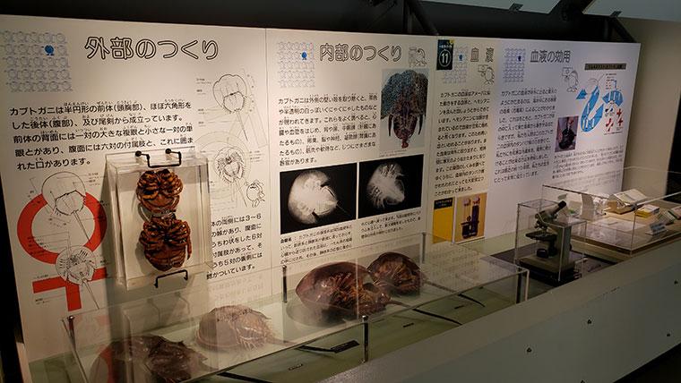 カブトガニ博物館 カブトガニ 説明