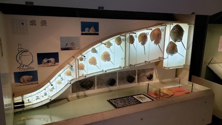 カブトガニ博物館 カブトガニ 成長の説明