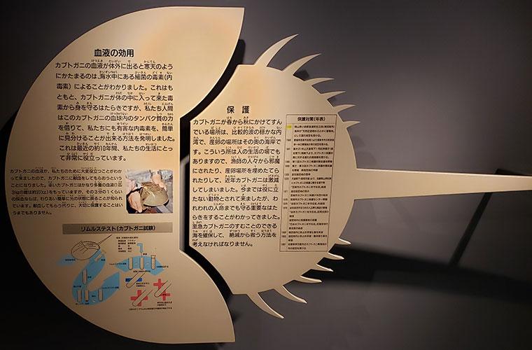 カブトガニ博物館 カブトガニの血液の説明